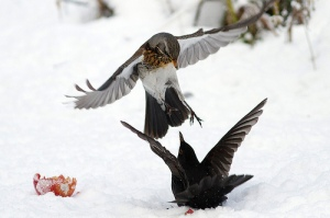A fieldfare fighting a blackbird for an apple in Langham in north Norfolk earlier this winter. Credit: Dave Curtis