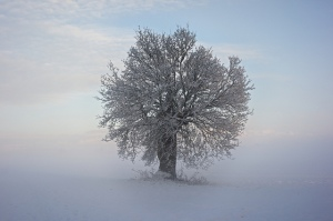 A tree near Carleton Forehoe in the snow. Credit: Silas Slack.