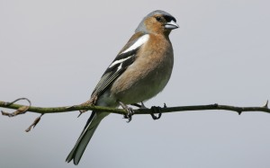 The chaffinch is one of many birds you might spot during the Big Garden Birdwatch this weekend.