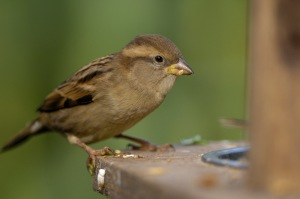The house sparrow was the most common bird seen in UK gardens last year. Here's a female enjoying a bit of grub. Credit: Ray Kennedy