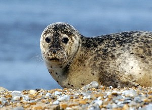 Taking a boat trip out to Blakeney Point gives you the chance to see hundreds of seals like this one. Credit: David Ian Roberts