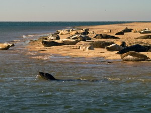 Numbers of seal pups have risen from 25 ten years ago to over 1,200 now. Credit: Gerry Balding.